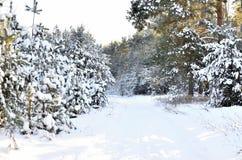 sosnowy las śnieg Fotografia Royalty Free