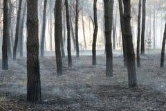 Sosnowy las po szeregowi członkowie ogienia Obraz Royalty Free