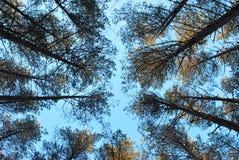 Sosnowy las przeciw niebieskiemu niebu obraz stock