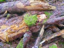 Sosnowy las przerastający, stos drewno notuje dalej las Fotografia Royalty Free