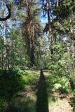 Sosnowy las przy latem Zdjęcie Stock