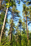 Sosnowy las przy latem Zdjęcie Royalty Free