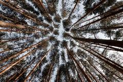 Sosnowy las spod spodu zdjęcie royalty free
