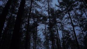 Sosnowy las w błękitnym zmierzchu Oddolny ruch zbiory