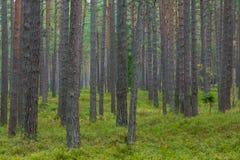 Sosnowy las w Jurmala Obrazy Stock