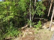 Sosnowy las w lecie 31 Obraz Royalty Free