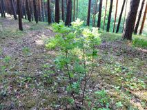 Sosnowy las w lecie 39 Obrazy Stock