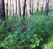 Sosnowy las w lecie 41 Obrazy Stock