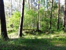 Sosnowy las w lecie 42 Obraz Stock