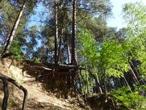 Sosnowy las w lecie 43 Obraz Stock