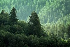 Sosnowy las w pustkowie górach Obraz Royalty Free