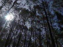 sosnowy las w ranku dniu fotografia royalty free