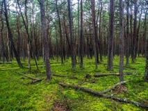 Sosnowy las w Slowinski parku narodowym, Polska Zdjęcia Stock