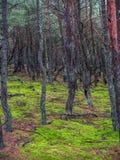 Sosnowy las w Slowinski parku narodowym, Polska Fotografia Royalty Free