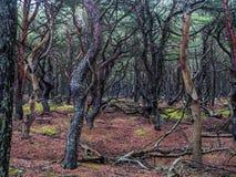 Sosnowy las w Slowinski parku narodowym, Polska Fotografia Stock