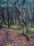 Sosnowy las w Slowinski parku narodowym, Polska Obrazy Stock