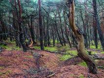 Sosnowy las w Slowinski parku narodowym, Polska Zdjęcie Stock