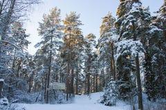 Sosnowy las w zimie Obraz Stock