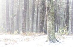 Sosnowy las w zimie na wczesnym poranku obraz royalty free