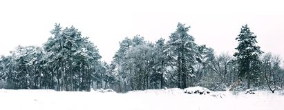 Sosnowy las w zimy panoramy krajobrazie Zdjęcia Royalty Free