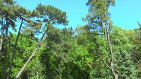 Sosnowy las widziimy sosny która zginał wiatr zbiory