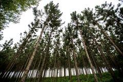 Sosnowy las z liniami Fotografia Stock
