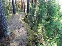 Sosnowy las z młodymi brzozami w lecie 25 Fotografia Royalty Free