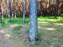 Sosnowy las z młodymi brzozami w lecie 26 Zdjęcia Stock