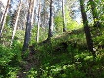 Sosnowy las z młodymi brzozami w lecie 28 Fotografia Stock