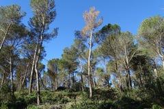 Sosnowy las z niebieskim niebem Zdjęcia Stock