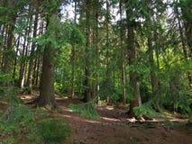 Sosnowy las z sosnowymi igłami na podłoga Igieł drewna zdjęcia stock