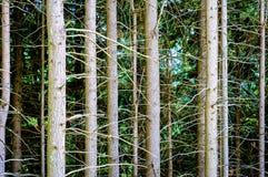 Sosnowy lasowy backfround Obrazy Stock
