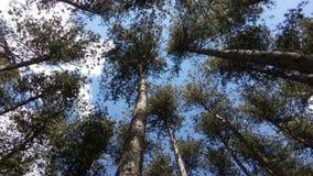 Sosnowy lasowy Krushino zdjęcie stock