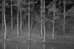 Sosnowy lasowy monochrom Obraz Stock