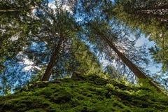 Sosnowy lasowy oddolny widok zdjęcie stock