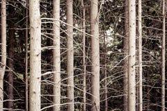 Sosnowy lasowy tło Natura, ekologia, życie zdjęcia royalty free