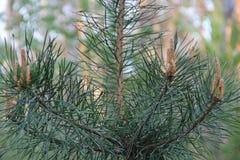 Sosnowy lasowy Wysoki drzewo Wytrwały aromat igły zdjęcia royalty free