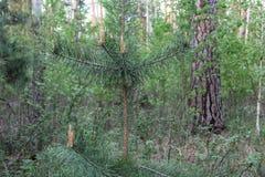 Sosnowy lasowy Wysoki drzewo Wytrwały aromat igły obrazy royalty free