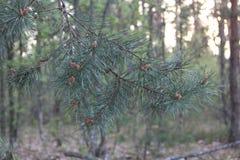 Sosnowy lasowy Wysoki drzewo Wytrwały aromat igły zdjęcia stock