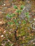 sosnowy mały drzewo Fotografia Royalty Free