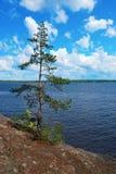 sosnowym pojedynczym drzewem jest Zdjęcie Royalty Free