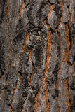 Sosny barkentyna Fotografia Stock