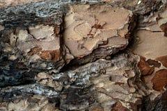 Sosny barkentyna, tekstura i kolor, Zdjęcie Stock