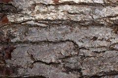 Sosny barkentyna Ukazuje się tekstur tła, tekstura 1 Obrazy Stock