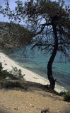 sosny drzewne Fotografia Stock