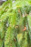 Sosny gałąź na sośnie Sosna w sosnowej lasowej Dzikiej naturze greenfield Park Plenerowa fotografia zdjęcie royalty free