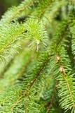 Sosny gałąź na sośnie Sosna w sosnowej lasowej Dzikiej naturze greenfield Park Plenerowa fotografia obraz royalty free