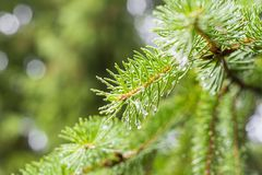 Sosny gałąź na sośnie Sosna w sosnowej lasowej Dzikiej naturze greenfield Park Plenerowa fotografia fotografia stock