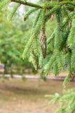 Sosny gałąź na sośnie Sosna w sosnowej lasowej Dzikiej naturze greenfield Park Plenerowa fotografia zdjęcia royalty free