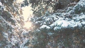 Sosny gałąź światła słonecznego świecenia zimy krajobraz podczas zmierzchu Zimy sosna słońce las w śnieżnym światło słoneczne ruc zbiory wideo